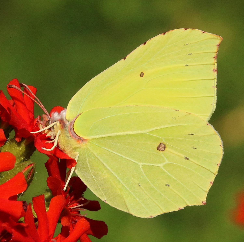 Sitruunaperhosen Toukka